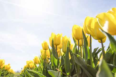 tulips-netherlands-flowers-bloom-159406.jpeg