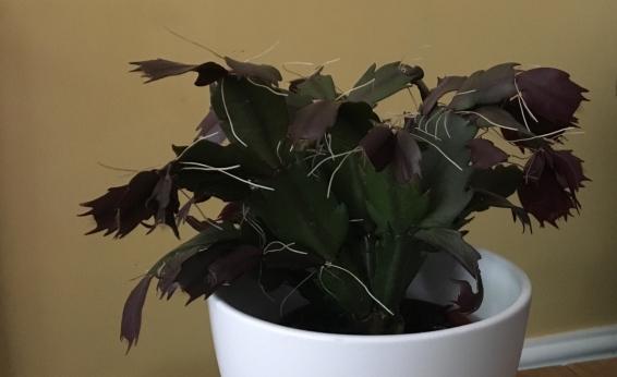 Christmass cactus